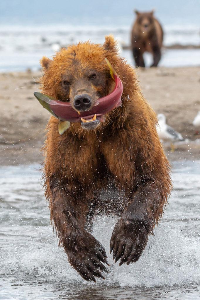 """Фото бурого медведя. Одна из фотографий, участвующих в фестивале """"Золотая черепаха"""". Описание ниже"""